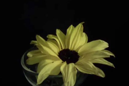 Brinno TLC200. Time-lapse, 1 photo every 2 seconds. Sunflower dying.